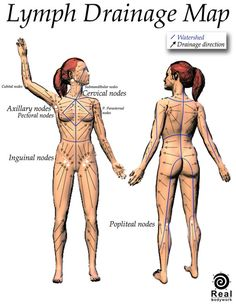 Diagram of the lymph nodes lymph nodes in body diagram human anatomy lymph drainage map ccuart Gallery