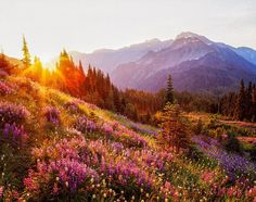 Photo @materas // Olympic Mountains and lupine at sunrise, High Divide, Olympic National Park, Washington. Olympic National Park was created on June 29th, 1938. It contains an incredible diversity of terrain including rocky coast, temperate rainforest, old growth forest, rocky alpine and massive glaciers. 95% of Olympic National Park is wilderness.