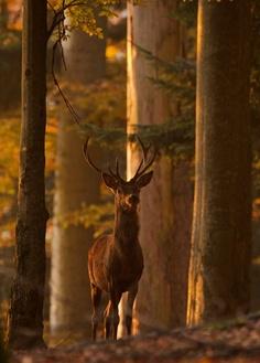 Edelhert / Red deer (by Beautiful Creatures, Animals Beautiful, Cute Animals, Majestic Animals, Wild Life, Photo Animaliere, Red Deer, All Nature, Mundo Animal