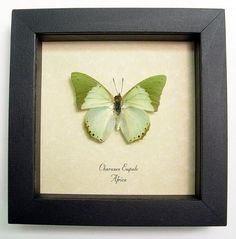 Sage Green Butterfly