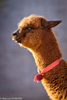 An alpaca <3 I miss seeing these on every street corner:(