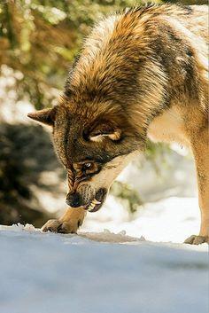 alpha - le parc des loups du mercantour