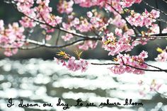 """""""I dream, one day, to see sakura bloom""""    A Love Letter to Japan by JapanLover.Me  www.JapanLover.Me"""