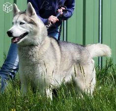 Etalon Husky de Sibérie pour saillie