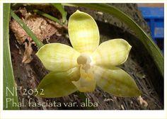 Phal. fasciata var. alba