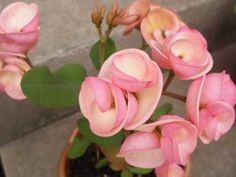 Euphorbia Plant, Euphorbia Milii, Unusual Plants, Rare Plants, Crown Of Thorns Plant, Rare Flowers, Flower Seeds, Madagascar, Botany
