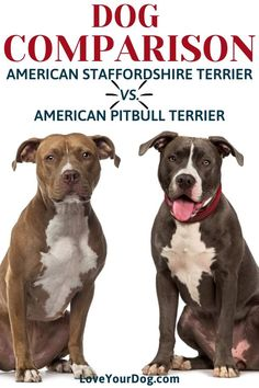 American Staffordshire Terrier Puppies, Staffordshire Dog, Poultry Breeds, Pet Breeds, Pitbull Toys, Staffy Bull Terrier, Dog Comparison, Bully Breed, Dog Heaven