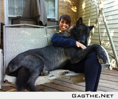 Black Wolf Hybrid. I want one. soooo bad.