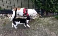 Daily Cute: Bulldog Has a Walking Buddy