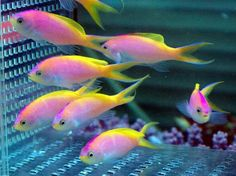 Bartlett anthias. Getting a harem of these for the new 150g!