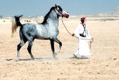 Daughters of the Wind: a blog on desert arabian horses, past and present » The Saidan strain in Bahrain