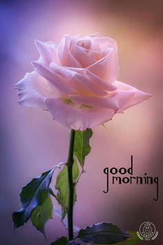 Beautiful pink rose pretty flowers, beautiful pink roses, love rose, send f Beautiful Pink Roses, My Flower, Pink Flowers, Red Roses, Beautiful Flowers, Pink Rose Flower, Gorgeous Body, Beautiful Butterflies, White Roses