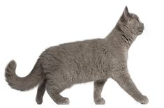 The oldest of all British cat breeds, The British Shorthair is an adaptable and calm breed. Read more about this cat breed here: http://www.petguide.com/breeds/cat/british-shorthair/