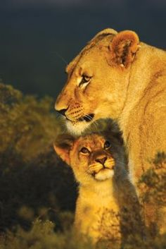 lioness with adorable cub... Shamwari Lion Love, Cute Lion, Animals And Pets, Baby Animals, Cute Animals, Big Cats, Cool Cats, Beautiful Cats, Animals Beautiful