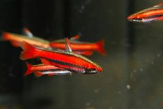 The brilliant reds of the Coral Red Pencilfish make an exciting addition for fish enthusiasts. Tropical Freshwater Fish, Freshwater Aquarium Fish, Beautiful Tropical Fish, Beautiful Fish, Tropical Fish Store, Aquatic Ecosystem, Shiny Days, All Fish, Fish Finder