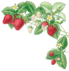 All About Growing Strawberries - Organic Gardening - MOTHER EARTH NEWS; Delicious, mouth watering Fruits to grow in your Organic Garden ~ perfect in Yogurt, Smoothies, Jams, etc. Strawberry Garden, Strawberry Patch, Strawberry Plants, Strawberry Jam, Types Of Strawberries, Mother Earth News, Organic Gardening Tips, Vegetable Gardening, Plant Illustration