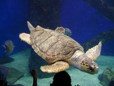 See this hard-shelled turtle that lives throughout most of the world's oceans. Learn how human activities are threatening even the highly adaptable loggerhead. Land Turtles, Sea Turtles, Ninja Turtles, Sea Turtle Pictures, Loggerhead Turtle, Hawaii Style, Tortoise Turtle, Turtle Love, Super Cute Animals