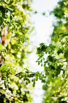 I want to grow my own hops some day.  They smell terrific, and you can make great things with them.
