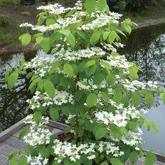 Viburnum plicatum f. tomentosum 'Kilimanjaro Sunrise' - Shrubs & Roses - Thompson & Morgan