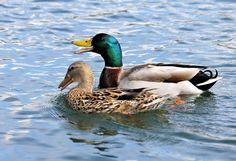 Sinisorsa 17.2.2017 Huopalahti Mallard, Helsinki, Ducks, Finland, Natural Beauty, Hunting, Feather, Birds, Nature