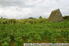 Tobacco field. Pinar del Rio