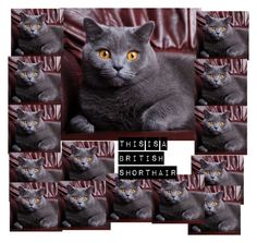 british shorthair by elephants133 on Polyvore featuring beauty