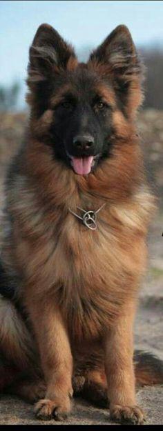 #German #Shepherd #germanshepherd