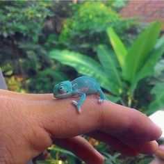 interesting little one chameleon pet cute special : Chameleons are generally remarkable creatures, yet they're not the ideal dogs and cats regarding everyone. Since his or her care specifications are qu. Cute Little Animals, Cute Funny Animals, Cute Dogs, Cute Babies, Baby Animals Pictures, Cute Animal Pictures, Animals And Pets, Animals Images, Farm Animals