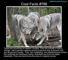 Cool facts #786  http://www.atlasobscura.com/articles/a-new-wolf-coyote-hybrid-is-infiltrating-our-cities