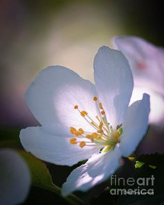 Blossom In The Sun by David Perry #White #flowers #photo