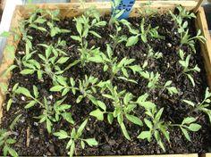 Uso de la aspirina en las plantas - https://www.jardineriaon.com/uso-de-la-aspirina-en-las-plantas.html #plantas