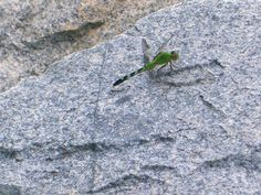 Dragonfly along coastal rocks.