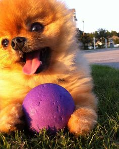 Jiff the Super Cute Pomeranian Doing Tricks