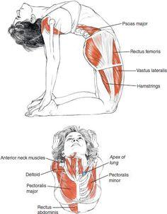Ustrasana - Leslie Kaminoff Yoga Anatomy Illustrated by Sharon Ellis