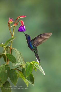 Violet Sabrewing Hummingbird By Juan Carlos Vindas
