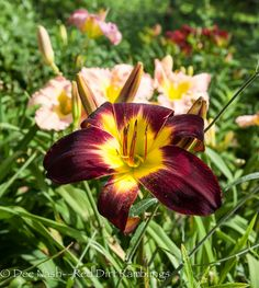 Hemerocallis 'Persian Ruby' (Trimmer 1998) is so beautiful this year that I'm in awe.
