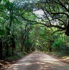 If you've ever been to South Carolina, I hope you have visited Edisto Beach . . . this is Botany Bay Road. The natural canopy created by the trees is amazing - surreal. I cannot get enough pictures when I visit there!