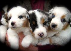 australian shepherd breeder of AKC and ASCA australian shepherd puppies