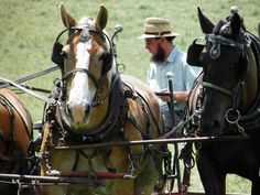 amish horses are worked sun up to sun down, often die in the fields while worked...how sad