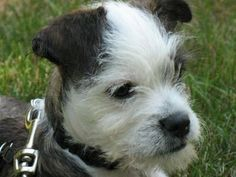 Adopted Petey, my Maltese Boston Terrier mix, from a rescue shelter in Texas. Great personality and is easy to train. Loves to play and just loves to cuddle