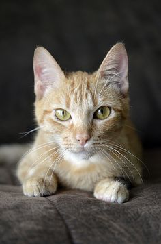This is Goldenpelt, a recent addition to my Clan's Elders, along with Morningfur, his mate.