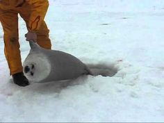Harp Seal Pup rescued Harp Seal Pup, Baby Harp Seal, Baby Seal, Fluffy Animals, Cute Baby Animals, Animals And Pets, Cute Seals, Cute Fish, Cute Animal Pictures