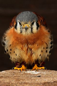 I Love Fat Birds! (American Kestrel shot taken at the Cotswold Wildlife Park, UK ~ Photo by Mark Hughes) Pretty Birds, Love Birds, Beautiful Birds, Animals Beautiful, Animals Amazing, Birds 2, Animals And Pets, Baby Animals, Cute Animals