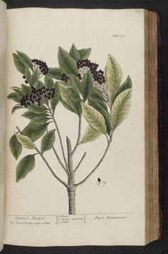A curious herbal. London : Printed for Samuel Harding, 1737-1739.. Presumably edelberry.