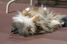 My sheltie does this all the time...lay on his back and roll around on the floor!
