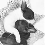 """2,589 mentions J'aime, 78 commentaires - 🌿 Miss. Olive  &  Lady Mabel 🌿 (@miss_olive_the_frenchie) sur Instagram: """"Eat. Sleep. Repeat."""""""