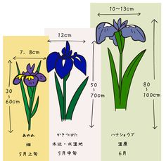 5月から6月にかけて咲くアヤメ科の仲間、アヤメ、カキツバタ、ハナショウブの見分け方の図です。