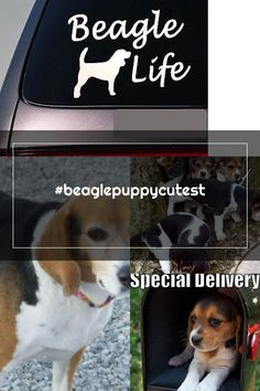 #beaglepuppycutest Adoptable Beagle
