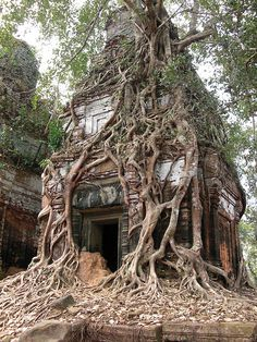 Koh Ker, Cambodia. Temple in Prasat Pram made of brick is spectacularly clothed in tree roots of the strangler fig. This parasitic tree usually feeds off the tree and eventually kills its host. On this occasion the roots of the fig are both destroyer and scaffolding giving support to the loosened brickwork of the left hand tower.