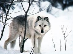 White Wolf: Saving the wolves: Michigan Indians fight wolf hunt